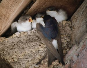 House Martins, Calke Abbey