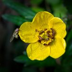 FLOWER BEETLES AND FLESH FLY ON BUTTERCUP by Ken Monk