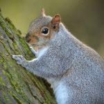 GREY SQUIRREL by David Cunnane