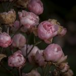 ROSE BUSH by Janna Filatova