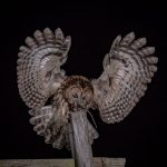 TAWNY OWL WITH MOUSE by David Bray